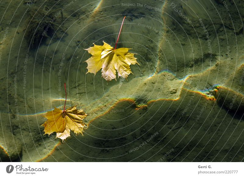 Nature Water Leaf Yellow Autumn Lake Sand Moody Ground Clarity Sign Considerable Transparent Refraction Autumn leaves Float in the water