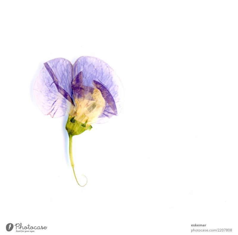 dried and pressed blossom Nature Plant Flower Blossom Wild plant Dried Pressed Esthetic Beautiful Blue Violet White Uniqueness Elegant Pure Copy Space Herbarium