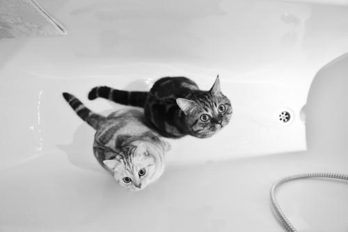 Bath day cats Animal Pet Cat 2 Contentment Safety Domestic cat Bathtub Bathroom Brothers and sisters Black & white photo Berlin Interior shot Deserted