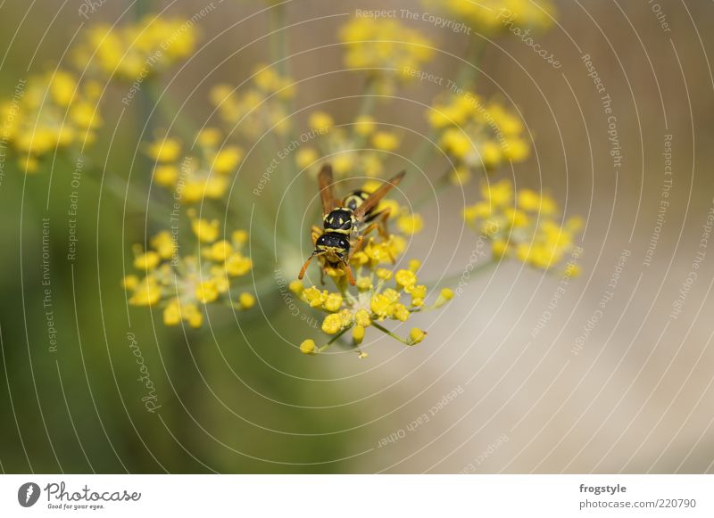 wasp Nature Animal Plant Flower Blossom Wild plant Wing Wasps 1 Blossoming Brown Yellow Green Nectar Colour photo Exterior shot Deserted Day Individual Sprinkle