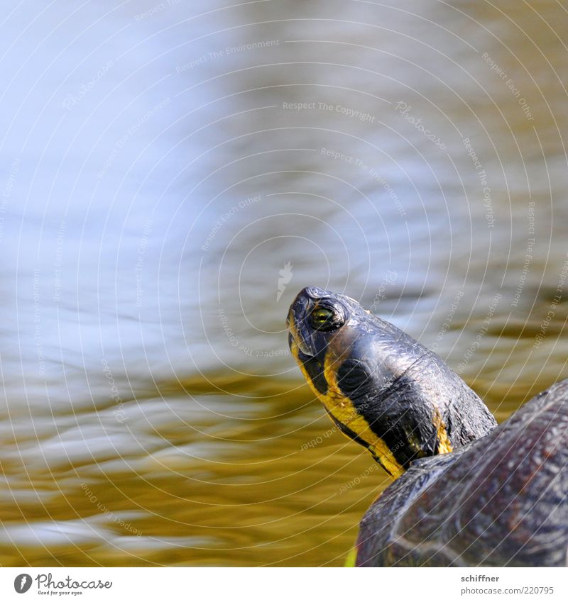 Phone home? Animal Water Pond Lake 1 Looking Brash Funny Curiosity Cute Upward Arrogant Neck Turtle Tortoise-shell Eyes Striped Day Perspective Animal face