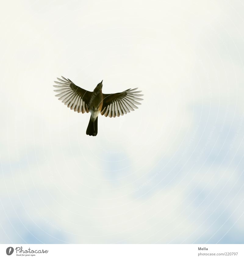 The principle of hope Environment Nature Animal Air Sky Bird Wing Jay 1 Flying Free Natural Above Moody Hope Freedom Optimism Perspective Disperse