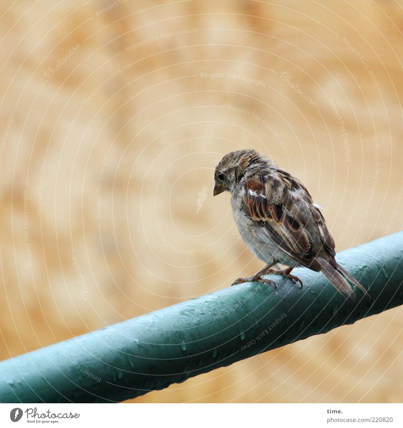 Loneliness Animal Sadness Rain Brown Bird Weather Wet Drops of water Sit Feather Observe Meditative Damp Handrail Beak
