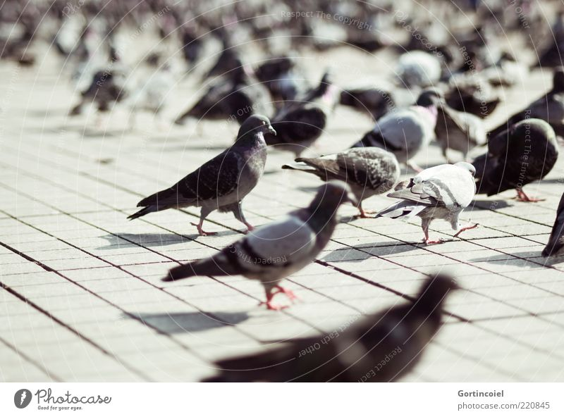 pigeons Places Animal Wild animal Bird Pigeon Wing Group of animals Flock Gray Taksim Istanbul Turkey Colour photo Subdued colour Exterior shot Light Shadow