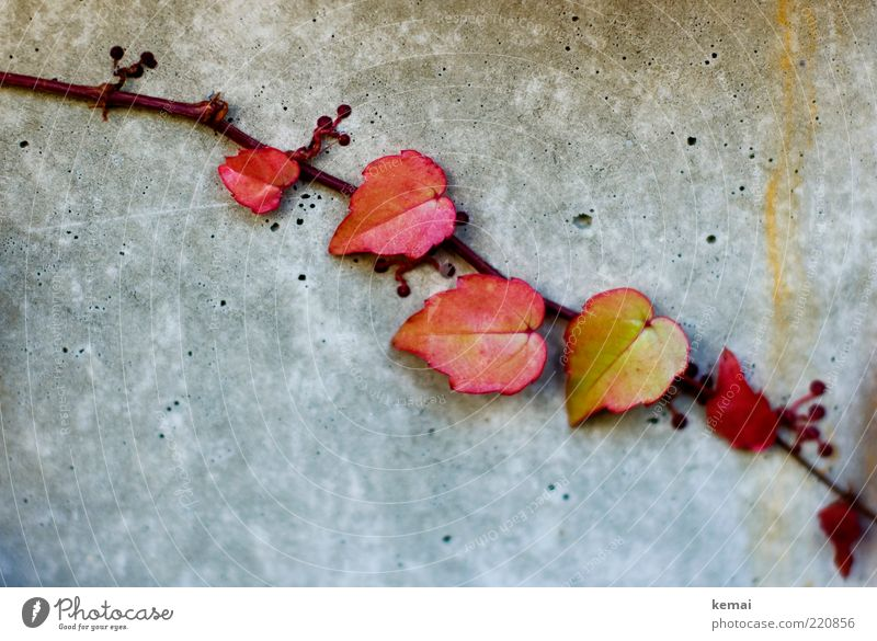 Nature Red Plant Leaf Yellow Wall (building) Autumn Gray Environment Wall (barrier) Small Facade Concrete Growth Ivy Tendril