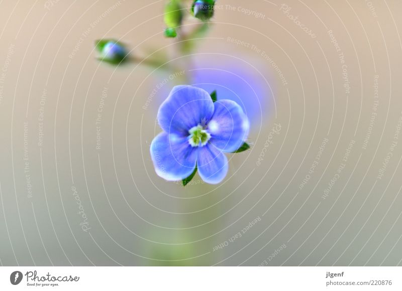 Forget-me-not (forget-me-not) Environment Nature Plant Flower Blossom Wild plant Esthetic Authentic Beautiful Small Positive Blue Green White Style Colour photo