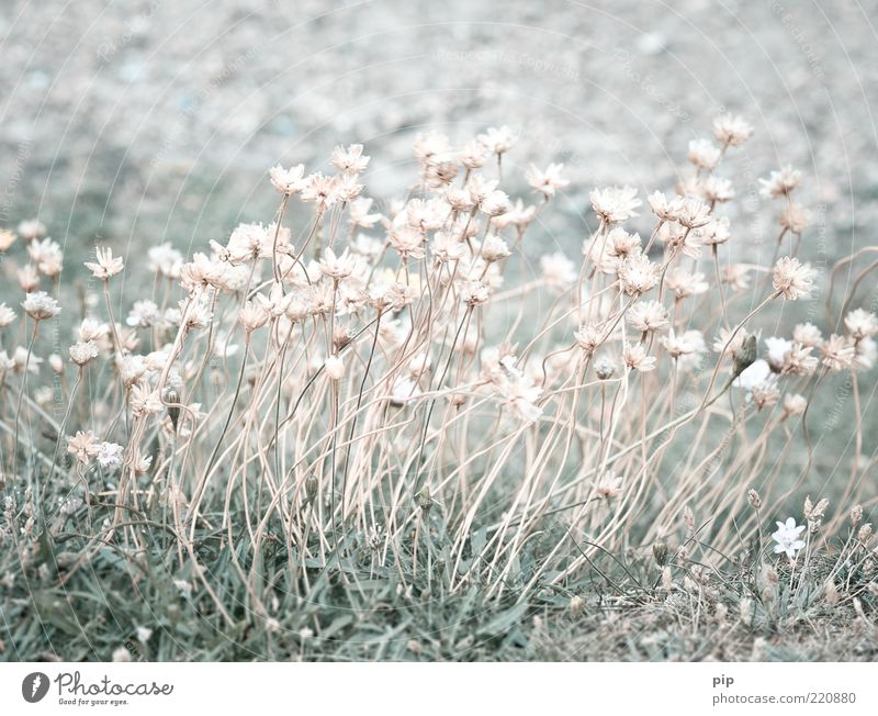 Nature Beautiful Flower Plant Summer Meadow Style Blossom Grass Bright Small Pink Multiple Thin Transience Delicate