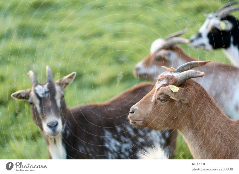 goat Pet Farm animal Goats 4 Animal Group of animals Friendliness Beautiful Brown Gray Green Black White Goatskin Antlers Shaft of light Dream Watchfulness