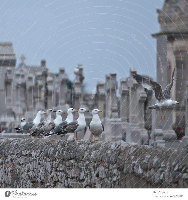 Old White Gray Stone Wall (barrier) Together Bird Wait Fly Flying Sit Group of animals Christian cross Seagull Cemetery Animal