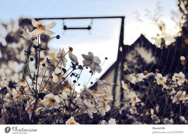Sky Nature White Plant Flower Meadow Grass Garden Blossom Blossoming Stalk Fragrance Swing Blue sky Blossom leave Gable