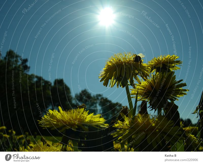 With dandelion and bumblebee towards the sun Nature Plant Sky Sun Sunlight Spring Summer Beautiful weather Flower Blossom Dandelion Meadow Flower meadow Wing