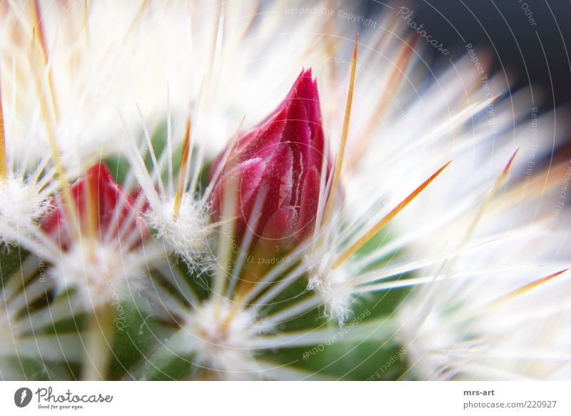 Nature Plant Red Blossom Pink Point Fragrance Dry Bud Cactus Partially visible Thorn Thorny Section of image Defensive