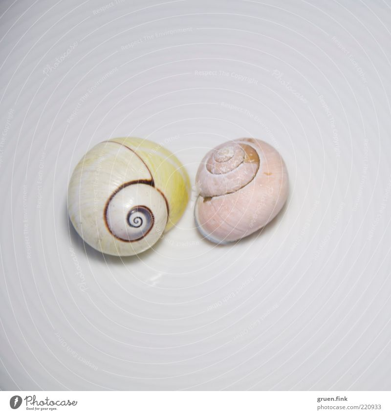White Animal Yellow Line Pink Elegant Circle Esthetic Authentic Near Pure Wild animal Exotic Snail Spiral Snail shell