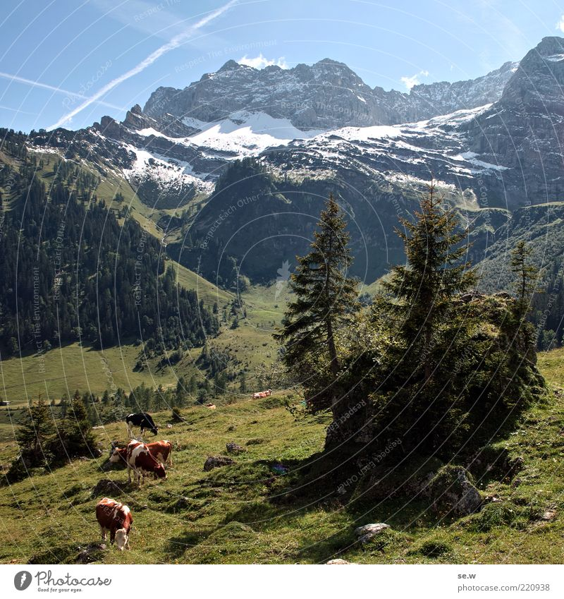 Nature Sky Tree Green Blue Summer Calm Loneliness Snow Meadow Mountain Group of animals Bavaria Alps Natural Longing