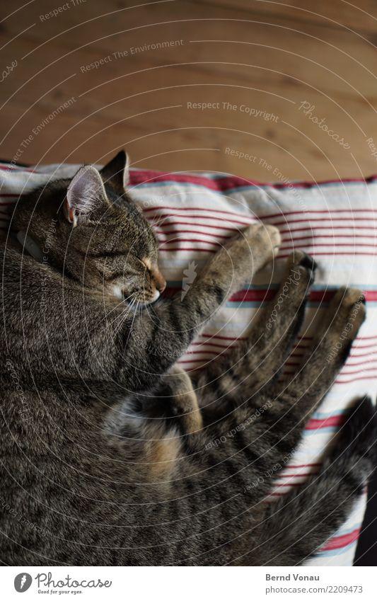 Cat Beautiful Animal Brown Living or residing Idyll Sleep Break Ear Pet Pelt Safety (feeling of) Paw Peaceful Wooden floor Cushion