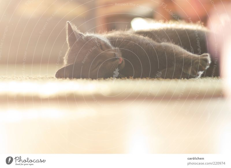 White Calm Animal Yellow Relaxation Cat Brown Gold Ground Lie To enjoy Safety (feeling of) Pet Well-being Emotions Purr