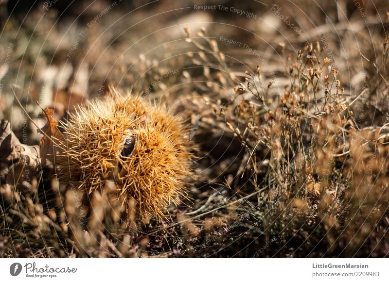 Protective Nature Plant Winter Autumn Food Nutrition Earth Point Protection Ground Seasons Dry Harvest Thorny Chestnut tree Sweet chestnut