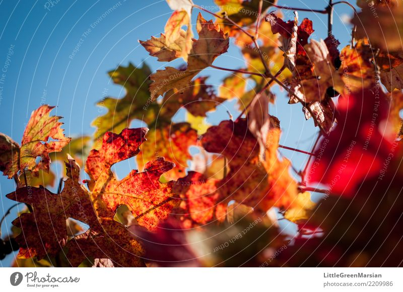 50 Shades of Red [3] Sky Nature Plant Blue Beautiful Green Sun Leaf Yellow Environment Autumn Orange Gold Beverage Vine