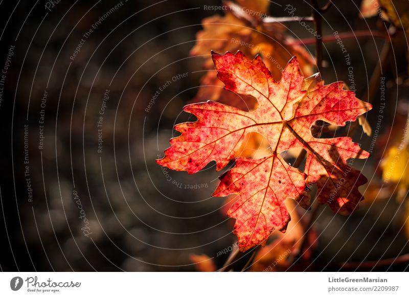 50 Shades of Red [2] Nature Plant Beautiful Sun Leaf Environment Autumn Orange Gold Beverage Vine Wine Harvest October Wine growing