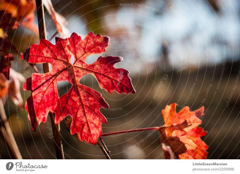 50 Shades of Red [1] Nature Plant Beautiful Sun Leaf Autumn Orange Gold Beautiful weather Vine Harvest October Wine growing Edge Wine cellar