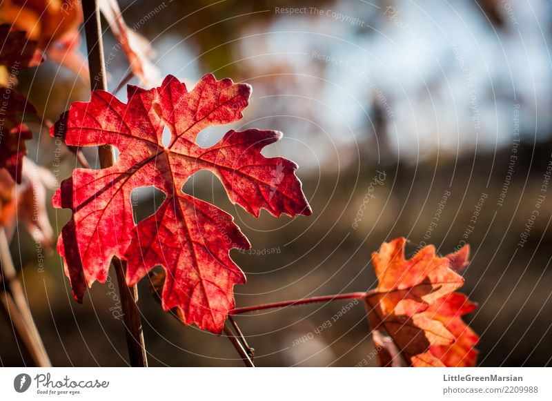 50 Shades of Red [1] Nature Sun Sunlight Autumn Beautiful weather Plant Leaf Vine Gold Orange Wine growing Winegrower Wine cellar Winery October Harvest Edge