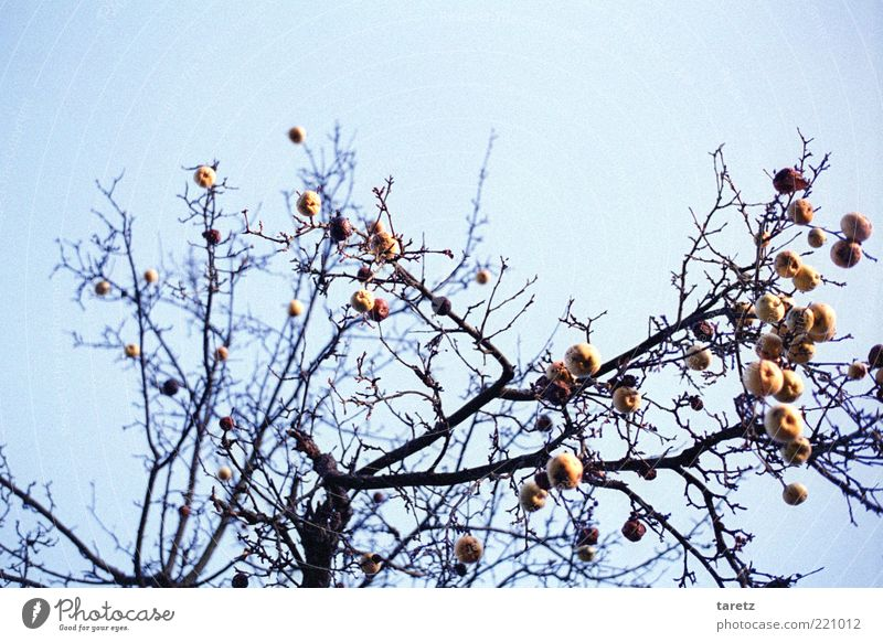 Nature Old Winter Cold Weather Time Tall Transience Branch Apple Twig Beautiful weather Blue sky Remainder Bleak Apple tree