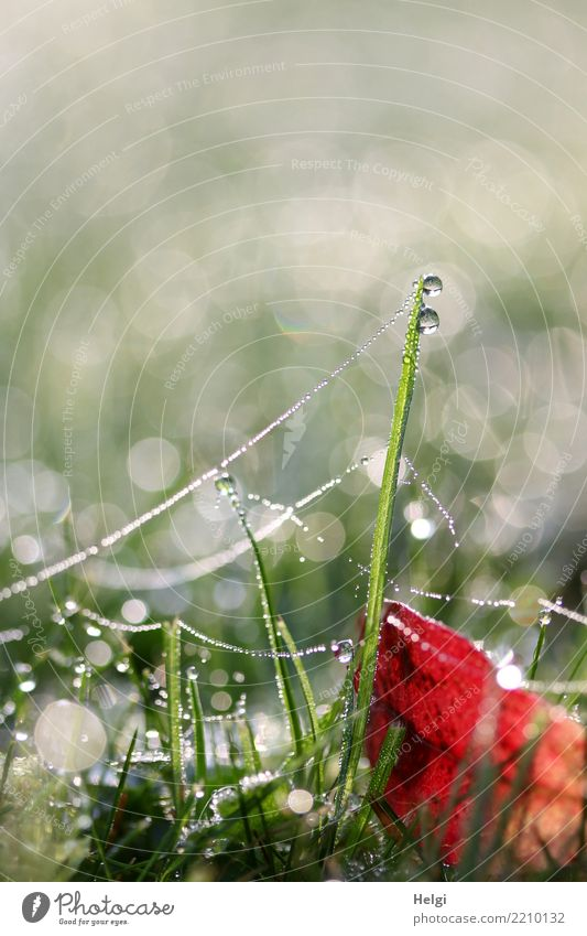 dew drops ... Environment Nature Plant Drops of water Autumn Grass Leaf Foliage plant Garden Spider's web Glittering Hang Lie Stand Esthetic Exceptional