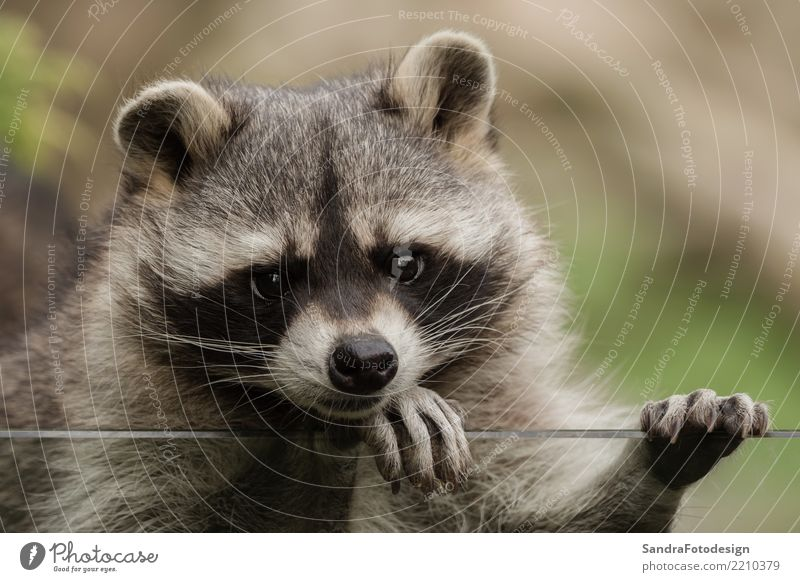 A sweet little racoon Style Joy Zoo Nature Animal Park Animal face 1 Observe Dream Friendliness Sympathy Friendship Love of animals Serene Patient Calm mammal