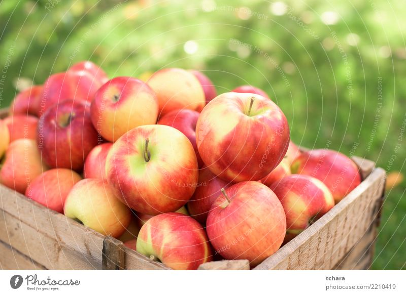 Ripe apples Fruit Apple Juice Summer Garden Nature Landscape Plant Container Growth Fresh Bright Delicious Natural Juicy Green Red Colour background orchard