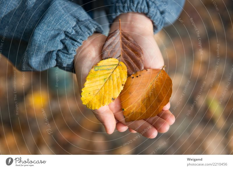Child Hand Leaf Forest Yellow Autumn Happy Brown Contentment Hiking Dream Infancy Discover Well-being Harmonious Collection