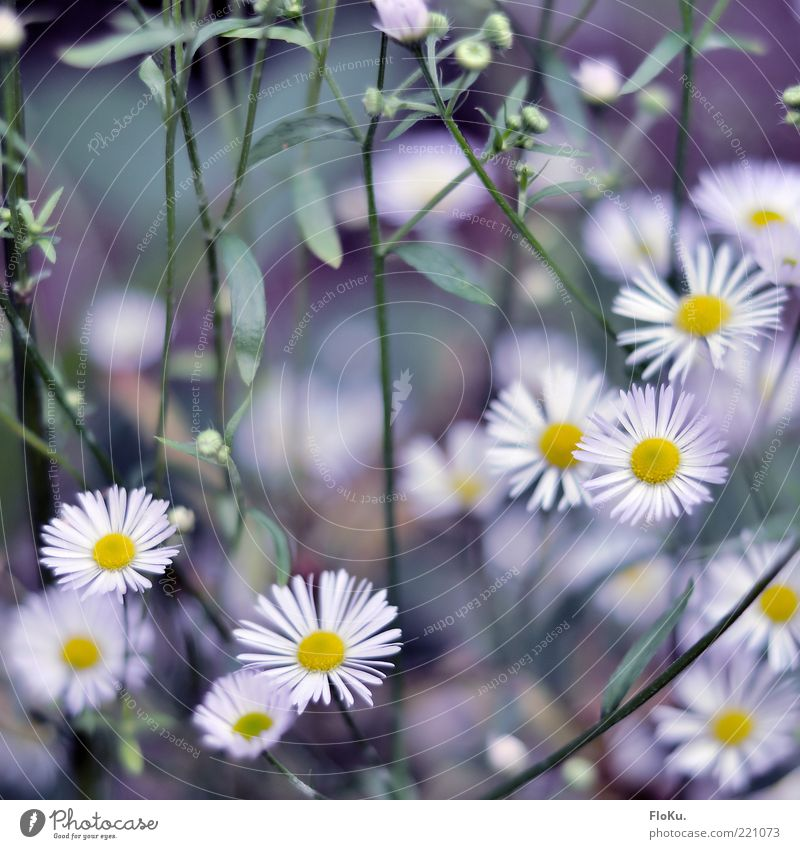 Cold flowers in autumn Environment Nature Plant Flower Leaf Blossom Wild plant Esthetic Beautiful Small Yellow Green White Graceful Daisy Colour photo