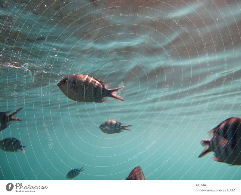 tickled by the sun's rays Environment Nature Animal Water Ocean Wild animal Fish Group of animals Flock Blue Waves Striped Colour photo Underwater photo