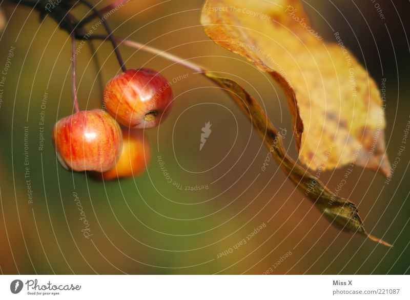small apples Food Fruit Apple Nutrition Autumn Tree Leaf Small Delicious Juicy Sour Sweet Autumnal Autumn leaves Colour photo Multicoloured Exterior shot