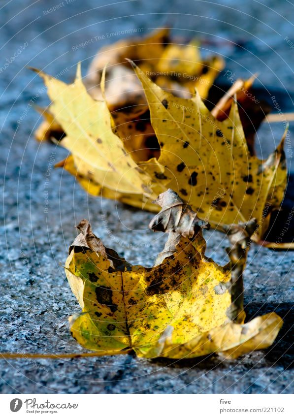 Nature Old Plant Leaf Yellow Autumn Multiple Ground Lie Dry Autumn leaves Detail Autumnal Autumnal colours Early fall