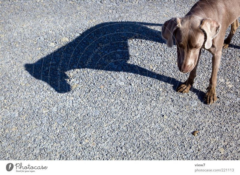 dog's life Street Animal Dog 1 Stone Stand Dream Esthetic Authentic Thin Simple Elegant Gray Expectation Uniqueness Weimaraner Shadow Paw Snout Colour photo