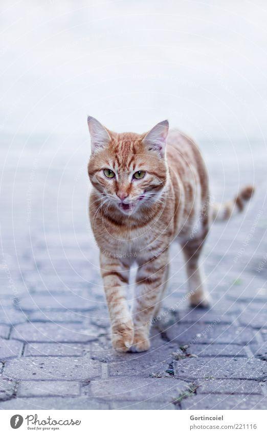 Animal Cat Elegant Going Walking Animal face Pelt Paw Snout Muzzle Lick Pattern Whisker Free-living Tiger skin pattern Auburn
