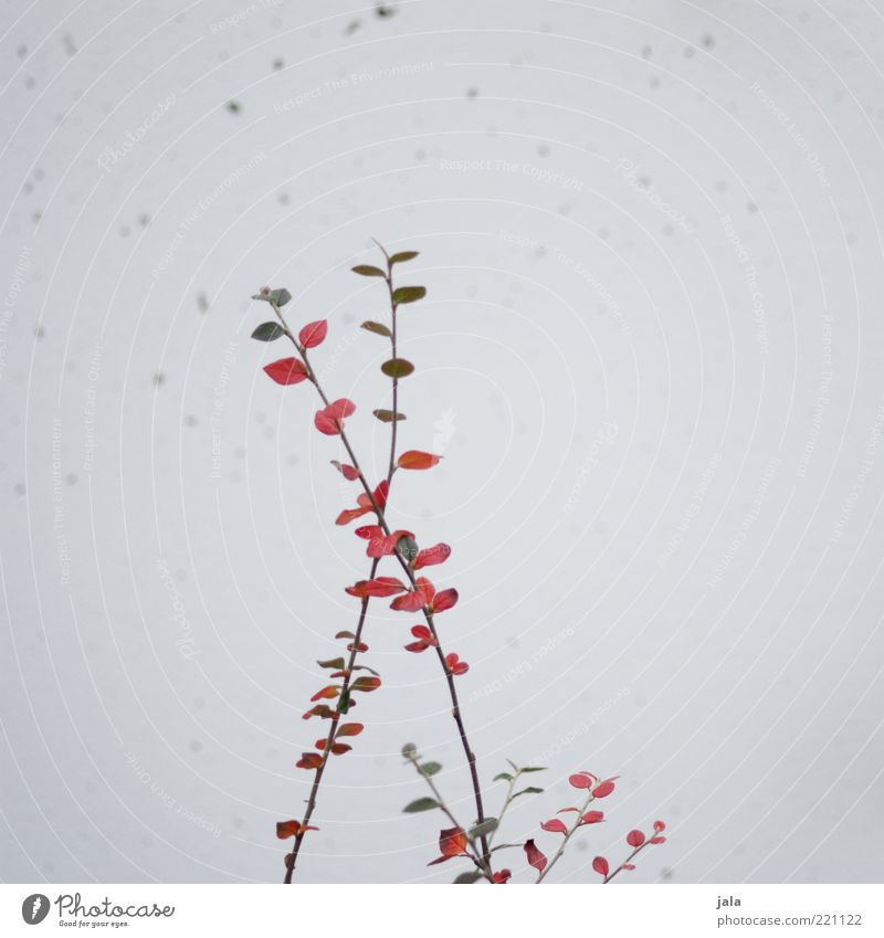ramified Plant Bushes Leaf Facade Gray Green Red Twigs and branches Branched Colour photo Exterior shot Deserted Copy Space right Neutral Background Day