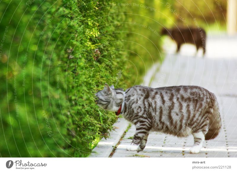 off through the hedge Nature Animal Bushes Foliage plant Pelt Pet Cat 2 Pair of animals Observe Discover Looking Sleep Curiosity Green Black Friendship Smooth