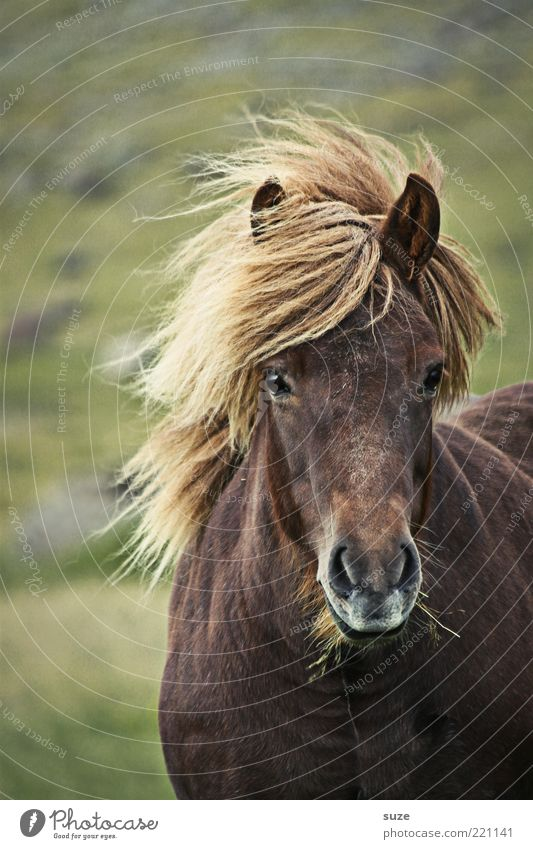 It storms ... Freedom Nature Landscape Animal Wind Meadow Farm animal Wild animal Horse Stand Wait Esthetic Natural Beautiful Moody Mane Iceland Pony
