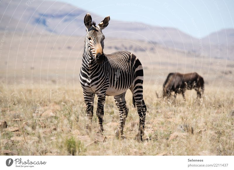 Mountain zebra Vacation & Travel Tourism Trip Adventure Far-off places Freedom Safari Expedition Summer Summer vacation Sun Environment Nature Landscape
