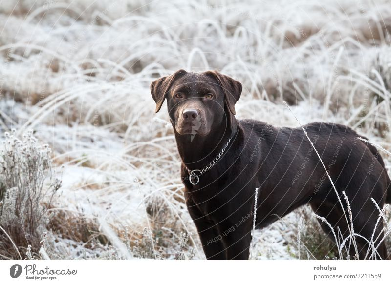 cute brown labrador dog on frosted meadow in winter Nature Dog White Animal Winter Adults Meadow Snow Grass Brown Bright Weather Ice Cute Frost Pet