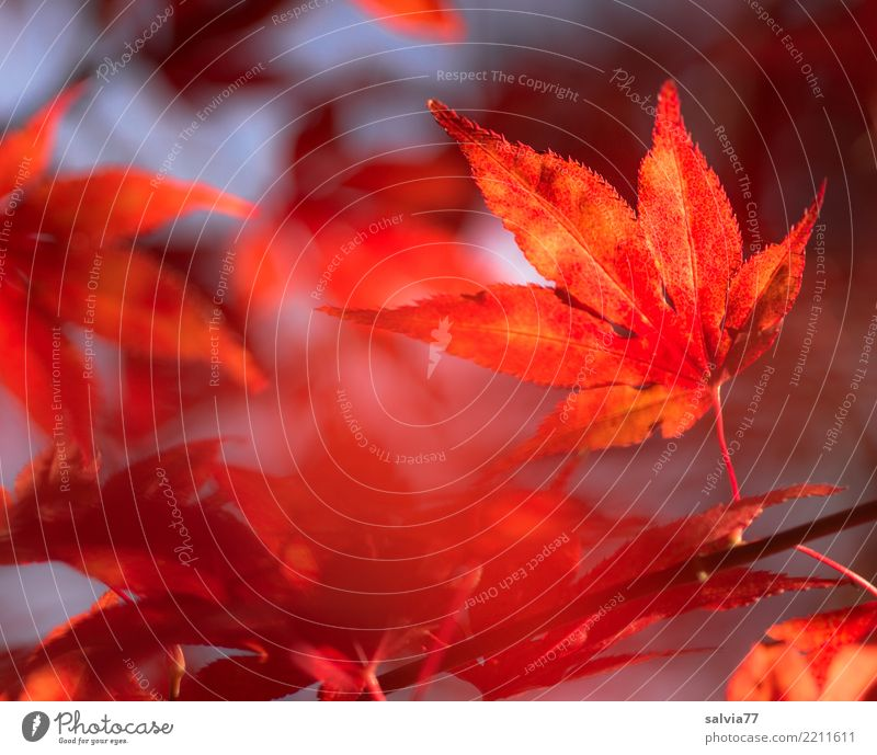 fiery red Environment Nature Plant Autumn Tree Bushes Leaf Maple leaf Garden Park Forest Illuminate Esthetic Point Warmth Blue Orange Red Calm Design Transience