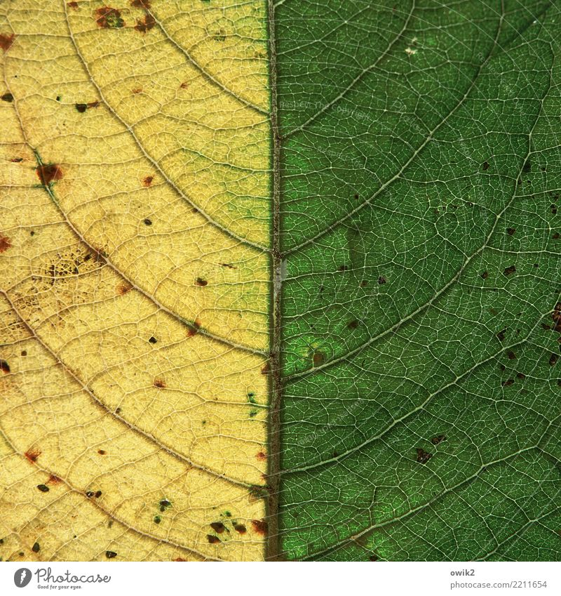 Half Autumn Nature Plant Leaf Rachis Thin Small Near Yellow Green Decline Transience Autumn leaves Autumnal colours Symmetry Middle Graphic Colour photo