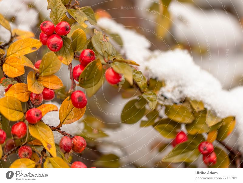 Red berries of the dwarf medlar in the snow Nature Plant Autumn Winter Ice Frost Snow Bushes Leaf Berries Pygmy Medlar Cotoneaster horizontalis Berry bushes