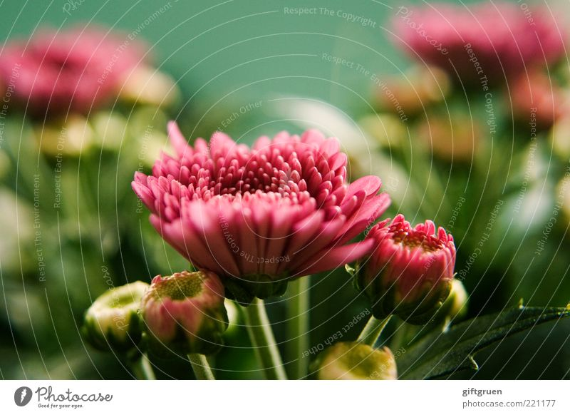 summertime Nature Plant Summer Flower Leaf Blossom Blossoming Growth Simple Fresh Beautiful Green Pink Life Bud Part of the plant Small Multicoloured