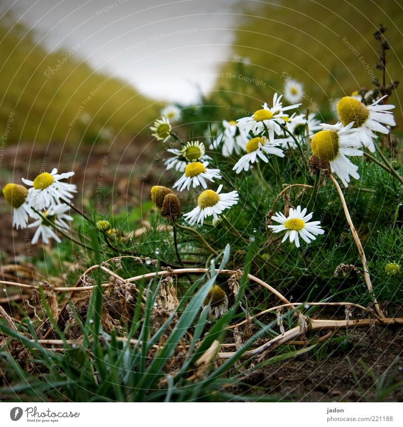 kamille grazie. Herbs and spices Organic produce Fragrance Nature Plant Field Healthy Chamomile Medicinal plant Earth salutary Close-up Morning