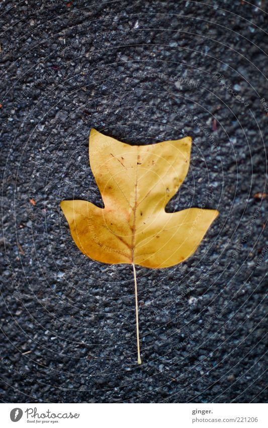 Nature Beautiful Leaf Autumn Gray Lie Gold Floor covering Asphalt Stalk Autumn leaves Tar Rough Rachis Prongs Fallen