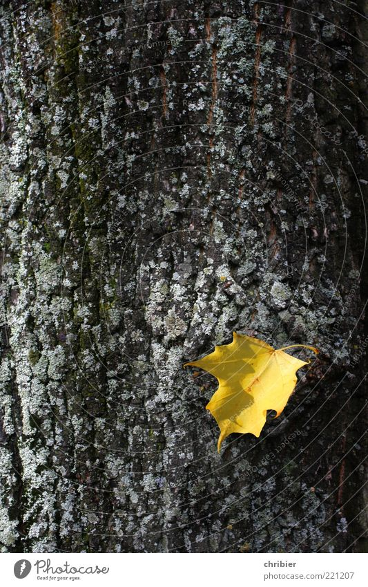 Nature Old Tree Plant Leaf Autumn Gold Tree trunk Hang Tree bark Faded Autumn leaves Autumnal To dry up Autumnal colours Early fall