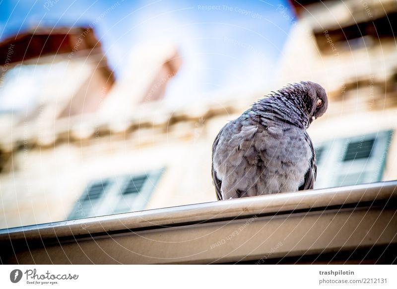 dove Vacation & Travel Summer Dubrovnik Croatia Animal Pigeon 1 2017 sonja mountain Personal hygiene Colour photo Exterior shot