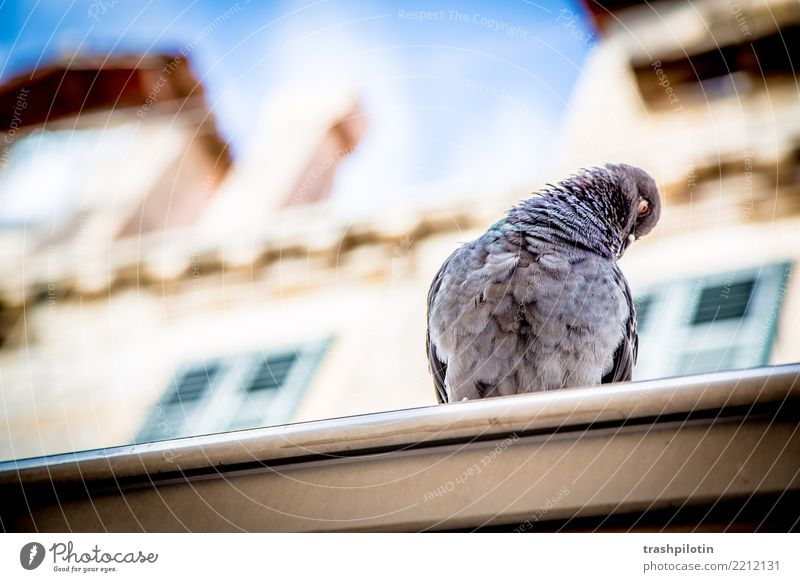 Vacation & Travel Summer Animal Personal hygiene Pigeon Croatia 2017 Dubrovnik